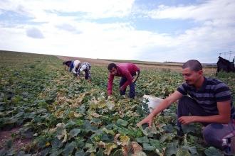 Mevsimlik tarım işçileri bayramı tarlada geçiriyor