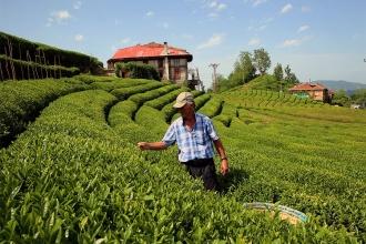 Çay üreticisine ürünü karşılığında özel sektörden fahiş fiyattan çay!
