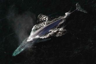 Dünyanın en büyük canlısı mavi balina, bir zamanlar küçüktü