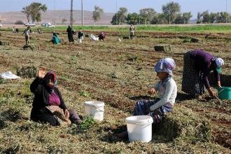 Yoksulluğun fotoğraf: Hasattan arta kalan fıstıkları topladılar