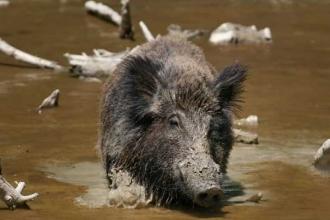 Kentsel domuzların magazin merakı