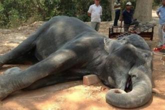 Kamboçya'da turistleri taşıyan fil kalp krizinden öldü