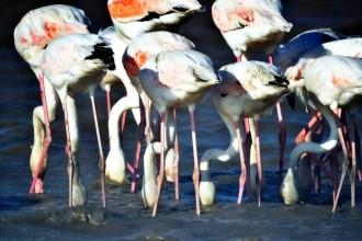 Flamingolar Bodrum'u sevdi