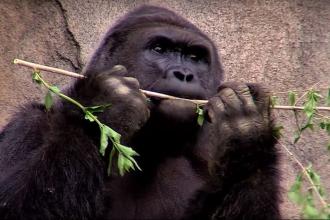 Hayvanat bahçesinde öldürülen goril Harambe için adalet kampanyası başlatıldı