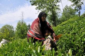 ÇAYKUR satılırsa  çay üretimi  biter