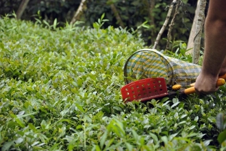 Çay üreticisi isyanda