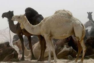 Suudi Arabistan, Katar'a ait 15 bin deveyi sınır dışı etti