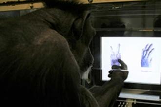 Bilim insanları şempanzelere taş-kağıt-makas öğretti