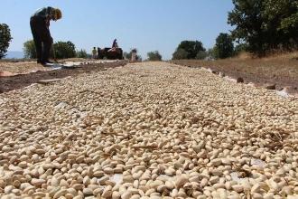 Antep'ten fıstık toplamak için Manisa'ya geliyorlar