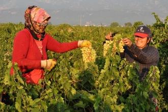 İslahiye'de üzüm hasadına başlandı