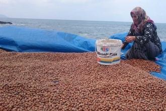 Fındık üreticisi TMO'nun verdiği 10.50 lira fiyata tepkili