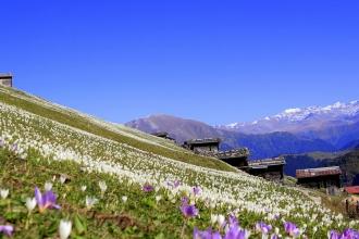 Doğu Karadeniz 'Vargit' çiçekleri ile beyaza büründü