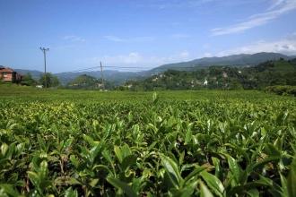 Doğu Karadeniz'de çay hasat dönemi sona erdi