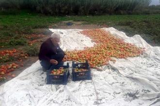 Datçalı domates üreticisi yıllar sonra güldü