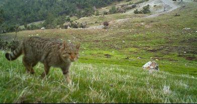 Yaban kedisi Manisa'da ilk kez görüntülendi
