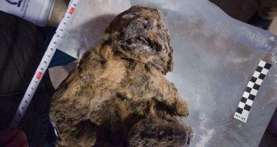 'Eşsiz derecede' korunmuş mağara aslanları bulundu