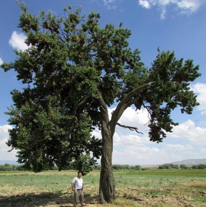 'Saklı kuş cenneti' gibi ağaç
