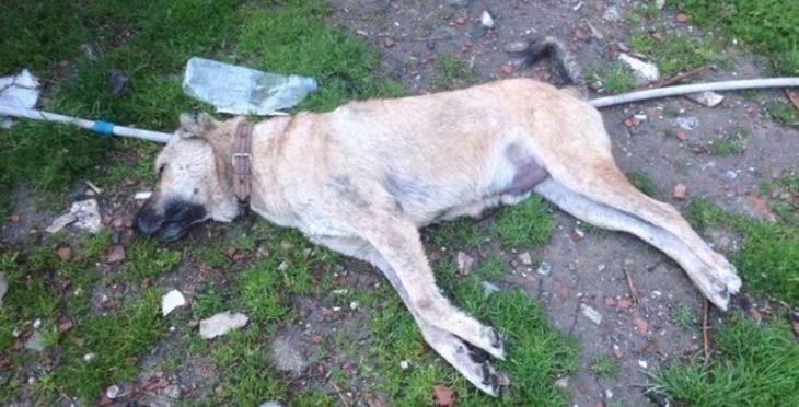 Manisa'da 10 köpek daha zehirlenerek öldürüldü