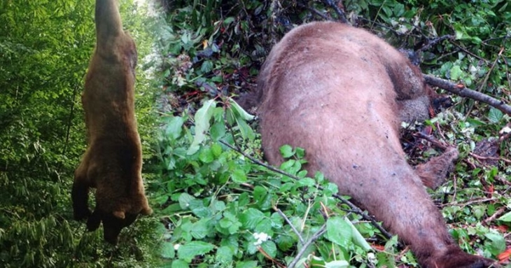Yasa dışı domuz bağına yakalanan boz ayı öldü