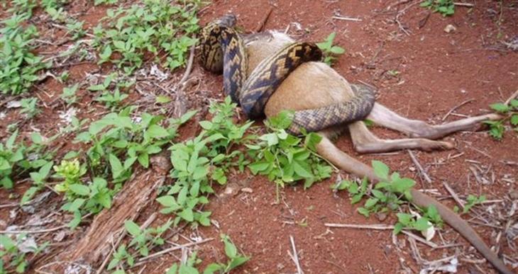 Boa yılanı avını nasıl öldürüyor?