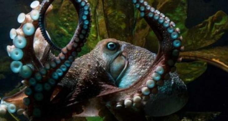 'Küçük Kara' ahtapot akvaryumdan kaçtı