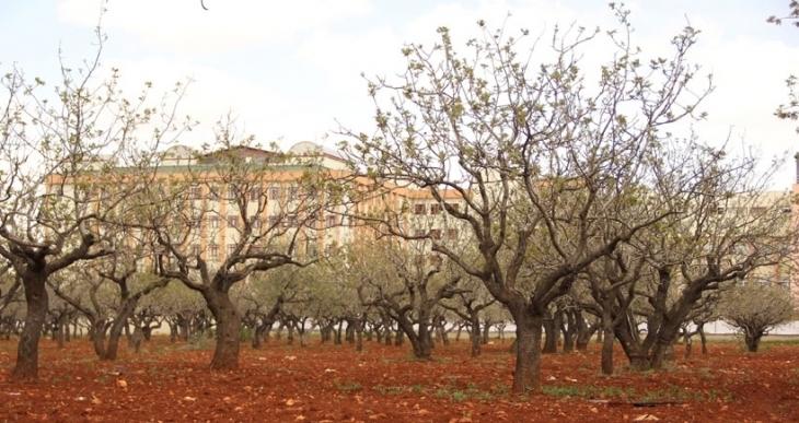 Antep'teki fıstık ağaçlarının kesimi Meclis gündeminde