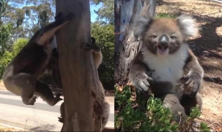 Ağaçtan atılan koala isyan etti