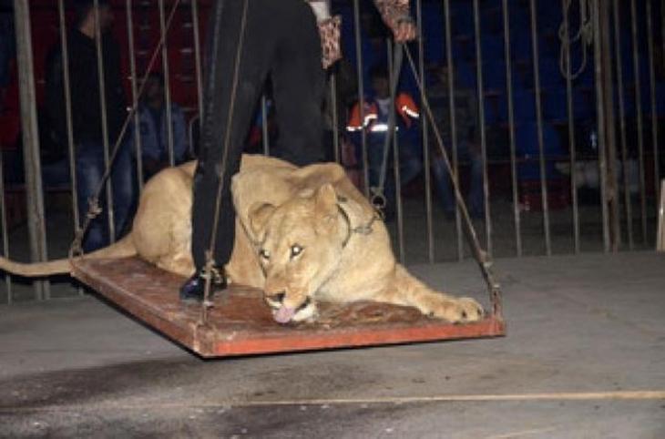 Kötü şartlarda tutulan aslan ve ayı AVM bahçesinde bulundu