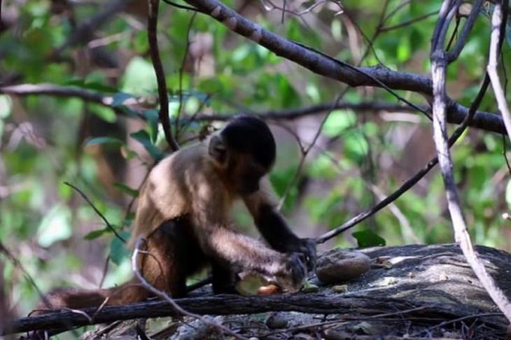 Kapuçin maymunları 600 yıldır alet kullanıyor