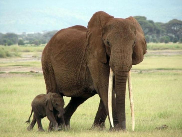 Mozambik'te altı yılda 11 bin fil katledildi