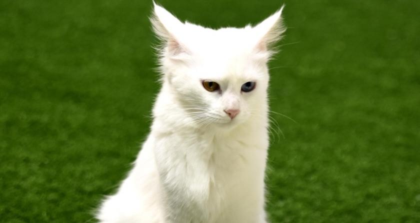 b34d0cffce Göz renkleri farklı Van kedisi sayısı arttı - Evrensel.net