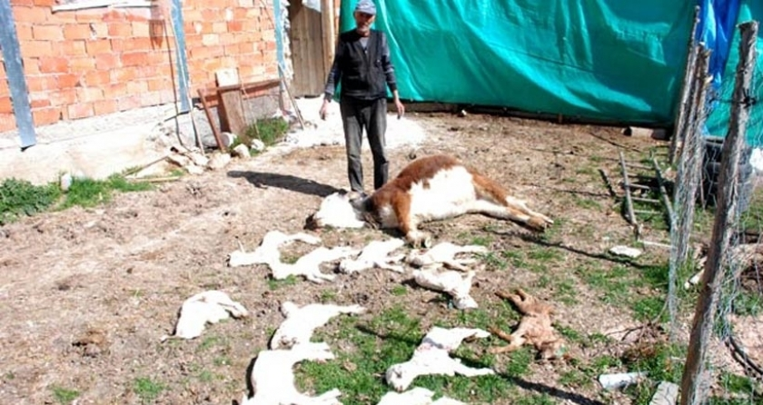 Eti Gümüş'ün hayalete çevirdiği kanserli köyde 150 oğlak öldü