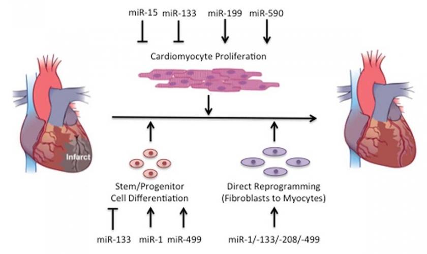 MikroRNA temelli kalp krizi tedavisi