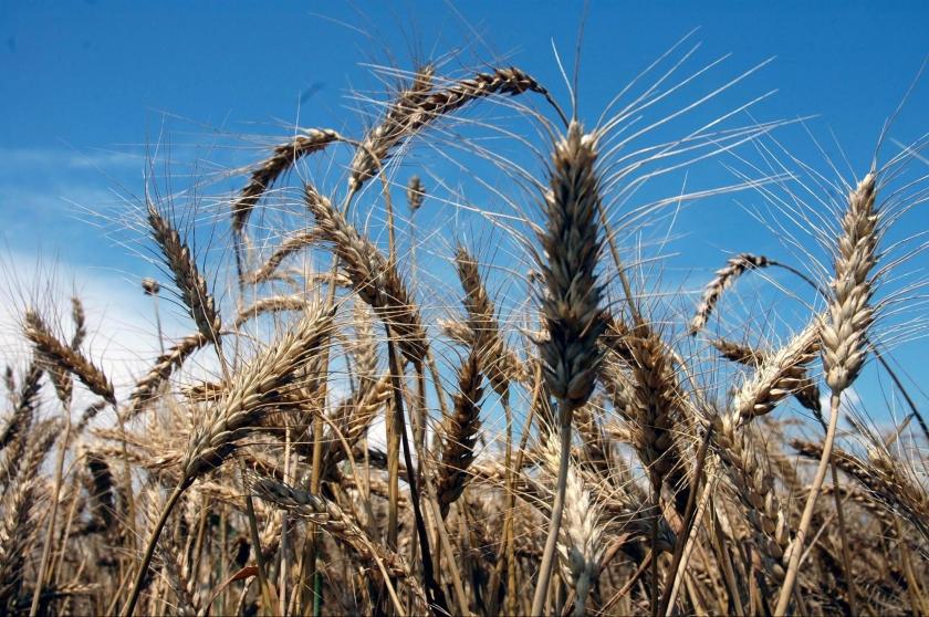 Buğday ithal ediliyor, ithalat lobisi kazanıyor
