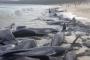 Avustralya'da 150'ye yakın balina sahile vurdu