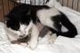 Sokak kedisi Nazlı, yavru kirpilerin süt annesi oldu