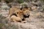 Güney Afrika'da kaçak gergedan avcıları, aslanların kurbanı oldu