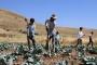 Lahana üreticisi 7 ay tarlada zararına çalışıyor