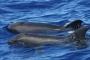 'Yarısı yunus diğer yarısı balina' haberi gerçeği yansıtmıyor