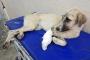 Kuyruğu ve ayağı kesik bulunan köpeğe ampütasyon yapıldı