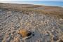 Antalya Belek sahilinde caretta caretta ölümleri