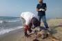 Kaplumbağalar ağlarda boğularak can veriyor