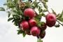 """Afetzede elma üreticilerinin """"zarar tazmin"""" beklentisi boşa çıktı"""