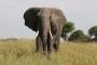Güney Afrika'da kaçak avcıyı fil öldürdü, aslanlar yedi