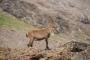 Dersim Barosundan yaban keçilerinin avlanmasına karşı suç duyurusu