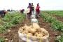Kışlık patates için tehlike çanları çalıyor