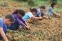 Milyonlarca tarım işçisi güvencesiz çalıştırılıyor
