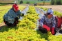 TARİŞ Alımı yavaşlattı üzüm üreticisi TARİŞ'e tepkili