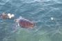 Ortaca'da ölüsü sahile vuran Caretta poşet yutmuş