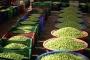 Siyah ve yeşil zeytin nasıl yapılır, nasıl tatlandırılır?